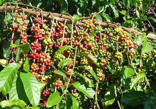 why you should visit kona coffee farms